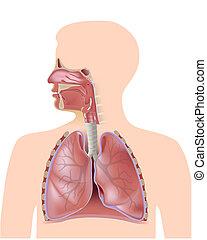 Das Atmungssystem