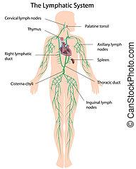 Das Lymphsystem etikettiert, eps10