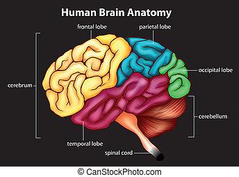 Das menschliche Gehirn.