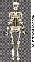 Das menschliche Skelett ist auf weißem Vektor isoliert.