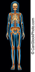 Das menschliche Skelettsystem.