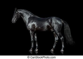 Das Pferd ist auf schwarz isoliert.