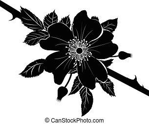 dekorativ, blume, blüte, rose, rose., briar, freigestellt, dogrose, hintergrund., wild, weißes