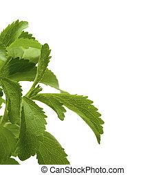 Dekorative Stevia Plan für einen Winkel einer Seite, weißer Hintergrund Quadrat-Bild.