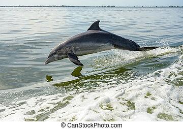 delfin, mexiko, springen, golf
