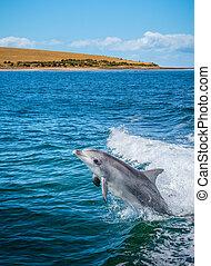 delfin, springen