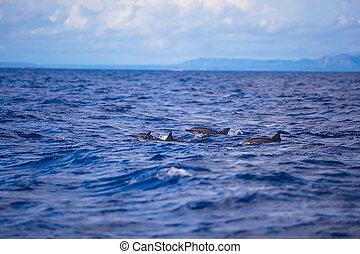 Delfine in offenem Meer schwimmen nebeneinander.