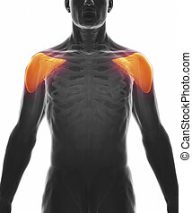 deltoid, muskel, freigestellt, -, koerperbau
