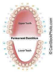 dental, dauerhaft, aufzeichnung, z�hne