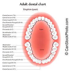 dental, erwachsener, tabelle