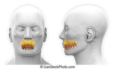 dental, -, freigestellt, koerperbau, z�hne, weißer mann