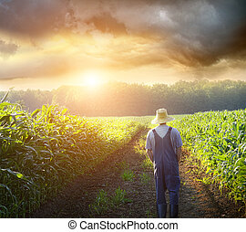 Der Farmer läuft bei Sonnenuntergang auf Maisfeldern