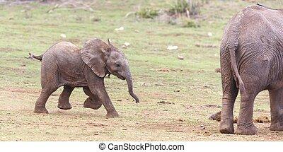 Der junge afrikanische Elefant läuft.