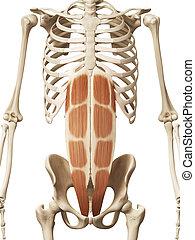 Der Retus abdominis.