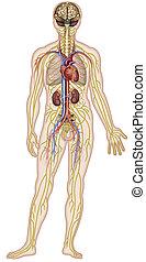 Descriptive Illustration der Nerven-, Kreislauf- und anatomischen Systeme des menschlichen Körpers.