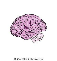 Detailiertes menschliches Gehirn, Hector.