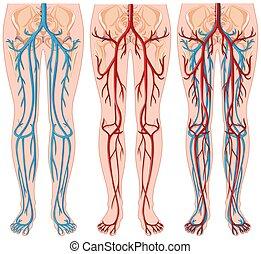 diagramm, ausstellung, menschliche , blut gefäße