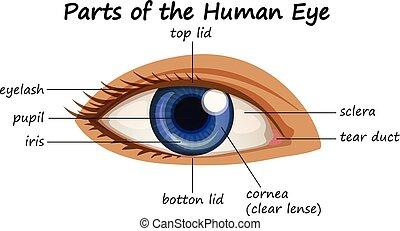 diagramm, ausstellung, zubehörteil, auge, menschliche