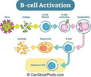 diagramm, b-cell, aktivierung, vektor, schema, illustration.