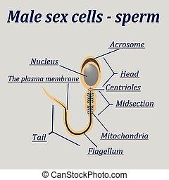 Diagramm der männlichen Sexzellen - Sperma.