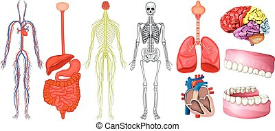 Diagramm der menschlichen Anatomie.