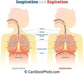 diagramm, erzieherisch, medizinische abbildung, anatomisch, vektor, ablauf, schema, inspiration