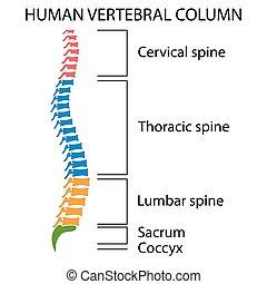 diagramm, menschliche , spine.