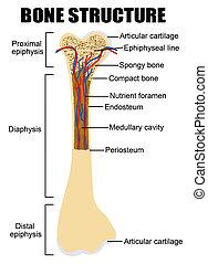 Diagramm menschlicher Knochen Anatomie