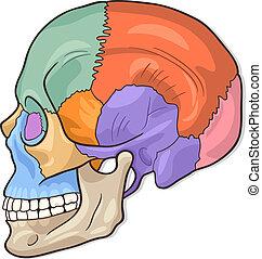 diagramm, menschlicher schädel, abbildung