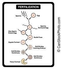 diagramm, samen, ei, menschliche , befruchtung