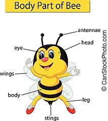 Diagramm zeigt Körperteil der Biene.