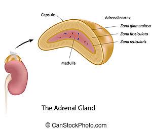 Die Adrenalindrüse, Eps10