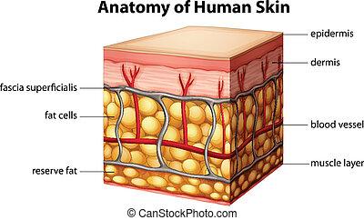 Die Anatomie der menschlichen Haut.