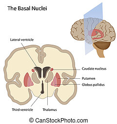 Die Bassale Nuclei des Gehirns