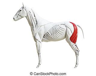 Die equinische Muskelanatomie - Bizeps femoris.