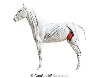 Die equinische Muskelanatomie - Quadrizeps femoris.