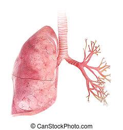 Die Lunge und Bronchi.