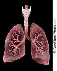 Die menschliche Lunge und Bronchi.