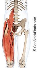 Die obere Beinmuskulatur
