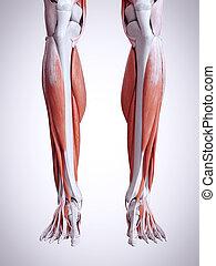 Die unteren Beinmuskeln.
