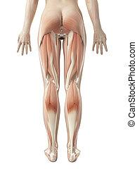 Die weibliche Beinmuskulatur.