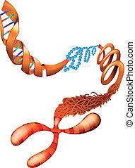 DNA Chromosom.