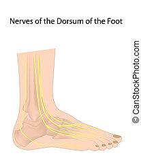 Dorsal digitale Nerven von Fuß Eps10