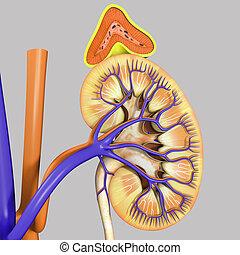 drüse, adrenal, niere