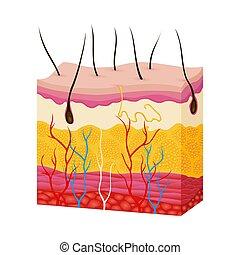 drüse, vektor, arterie, vene, anatomy., schichten, hypodermis., abbildung, epidermis, haut, schweißperlen, querschnitt, dermis, haar, zubehörteil, struktur, koerper, menschliche