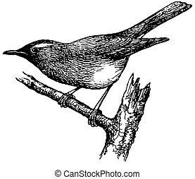 drossel, vogel, sibirisch