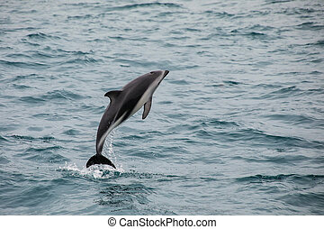 Dusky Delphin, der aus dem Wasser läuft