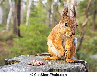 Eichhörnchen mit Nüssen und Sommerwald aufgrund wilder Natur Thematik (Sciurus vulgäris, Nagetier)