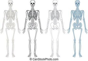 Ein anderes Diagramm von menschlichem Skelett.