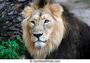 Ein edles Löwenporträt.